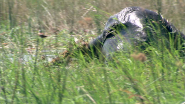 an african elephant wallows in marshy water and eats grass. available in hd. - wasserpflanze stock-videos und b-roll-filmmaterial