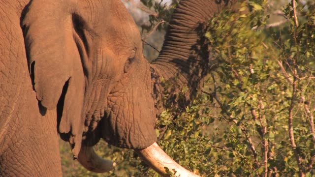 an african elephant with tusks uses its trunk to gather leaves from a tree in south africa. available in hd. - tierische nase stock-videos und b-roll-filmmaterial