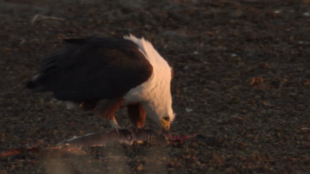 stockvideo's en b-roll-footage met an african fish eagle feeds on catfish. - african fish eagle