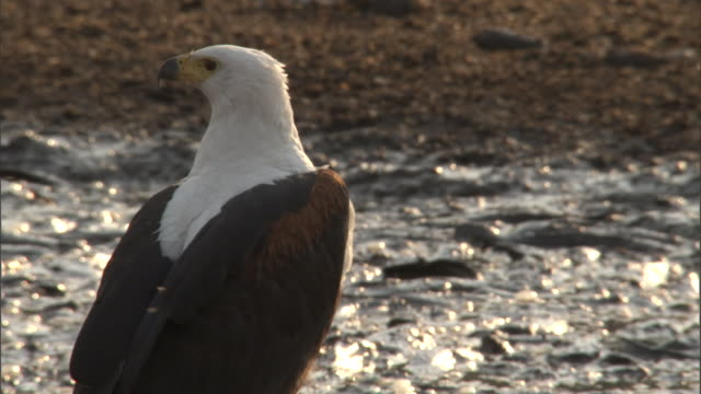 stockvideo's en b-roll-footage met an african fish eagle looks around. - african fish eagle