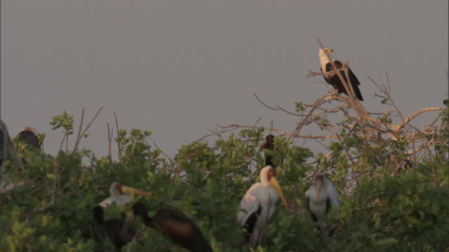 an african fish eagle perches in a treetop near yellow billed storks. - african fish eagle stock videos & royalty-free footage