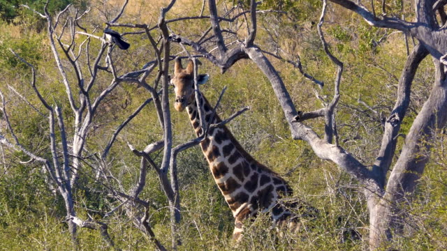 An African giraffe in the wild bush country turns its head and looks at the camera, shot in the bush of South Africa
