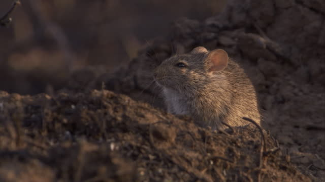 An African grass rat explores the burnt savannah. Available in HD.