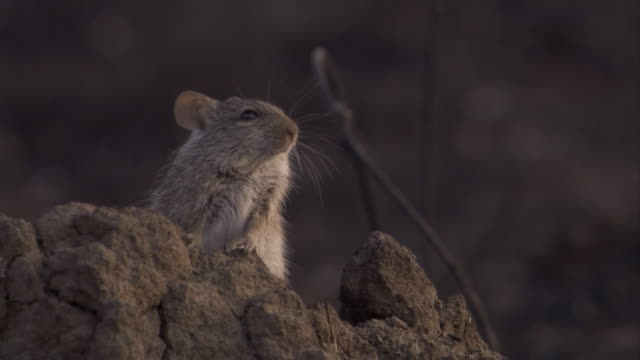 An African grass rat perches on rocks on the savannah. Available in HD.