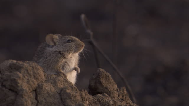 an african grass rat perches on rocks on the savannah. available in hd. - morning stock videos & royalty-free footage