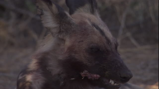 An African hunting dog chews on the bone of an impala. Available in HD.