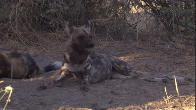 An African hunting dog gnaws on a bone. Available in HD.