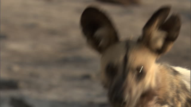 An African hunting dog looks around. Available in HD.