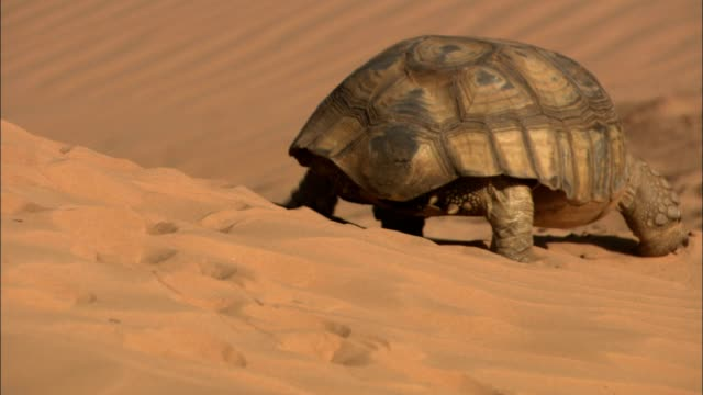 an african spurred tortoise walks along a sand dune in the sahara desert. - モーリタニア点の映像素材/bロール