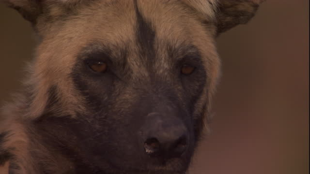 An African wild dog looks around. Available in HD.