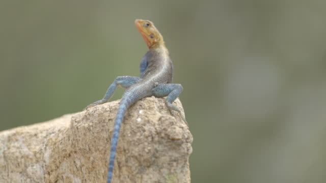 An Agama lizard scratching itself and sitting on a rock