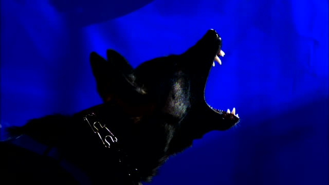 an aggressive dog bears its teeth in front of a blue screen. - blue dog stock videos & royalty-free footage
