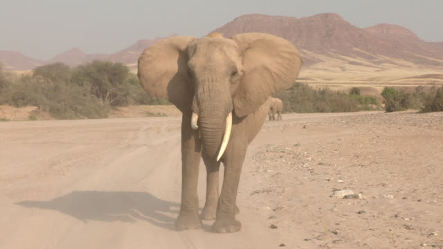 an aggressive female african elephant charges straight ahead. - elephant stock videos & royalty-free footage