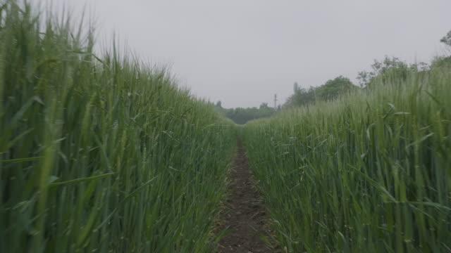 stockvideo's en b-roll-footage met an agricultural crop in the fog - volgen activiteit