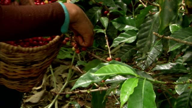 vidéos et rushes de an agricultural worker picks beans and places them in a basket. - culture agricole