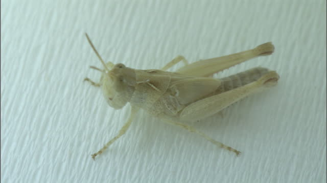 An albino locust sticks to fly paper.