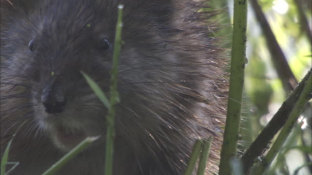 vidéos et rushes de an alert beaver scratches and then scampers away. - castor rongeur