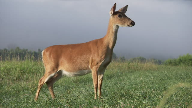an alert deer munches grass in a foggy appalachian meadow. - femmina di daino video stock e b–roll