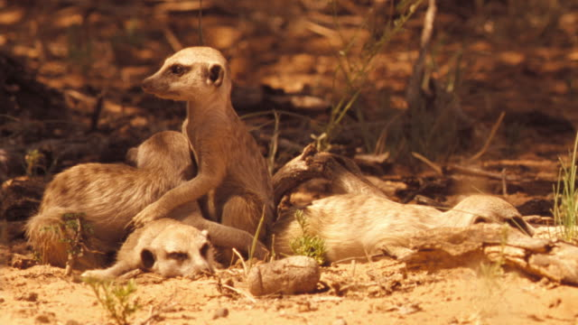 An alert meerkat slumps over and falls asleep. Available in HD.