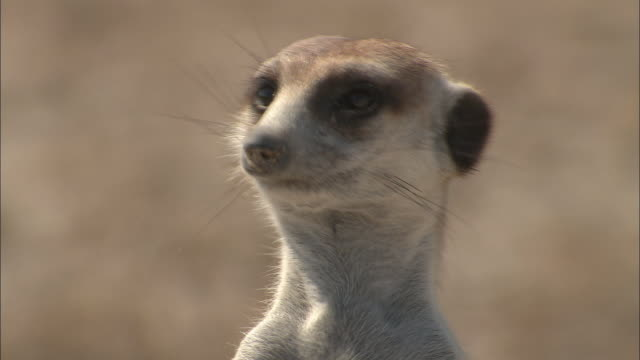 vídeos de stock, filmes e b-roll de an alert meerkat turns its head. - deserto de kalahari
