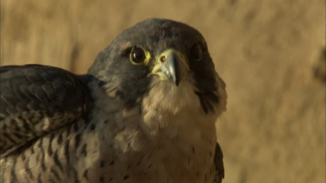 an alert peregrine falcon shakes its feathers and wings and then scratches itself with its talons. - bird of prey stock videos & royalty-free footage