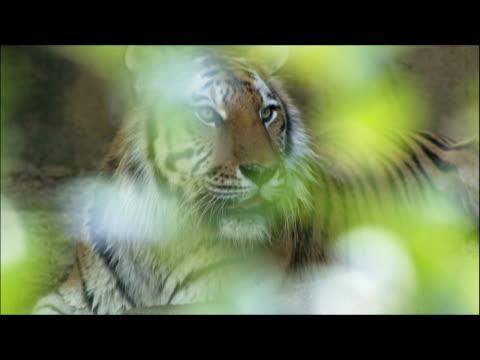 an alert tiger is visible through blurry green foliage. - djurkroppsdel bildbanksvideor och videomaterial från bakom kulisserna