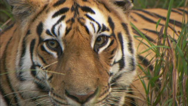 vídeos de stock, filmes e b-roll de an alert tiger looks around. - bigode de animal