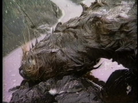 an aleutian indian says his people live off the land, but there are no animals left because of the exxon valdez oil spill. - animal themes stock videos & royalty-free footage