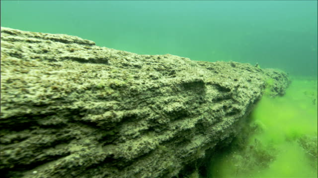 An algal bloom floats near an ancient tree in Oregon's Clear Lake. Available in HD