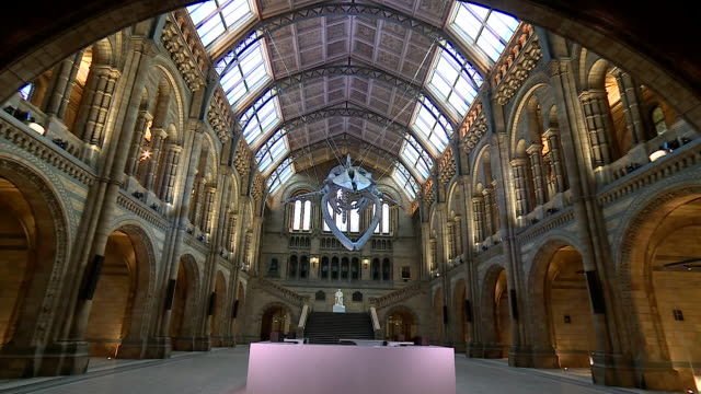 an all new main display at the natural history museum is 'hope' the blue whale - cetaceo video stock e b–roll