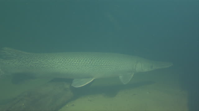 an alligator gar swims into shadowy freshwater. - 淡水点の映像素材/bロール