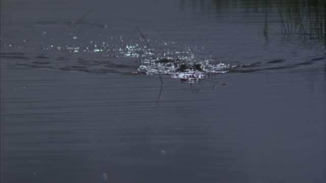 An alligator moves through marsh water.