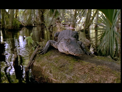 an alligator rests on a log in the everglades. - everglades national park stock videos & royalty-free footage