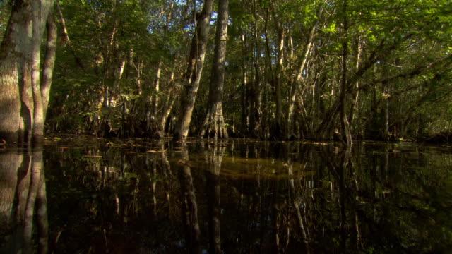 vídeos de stock, filmes e b-roll de an alligator skull lies on a cypress swamp bed. - pântano