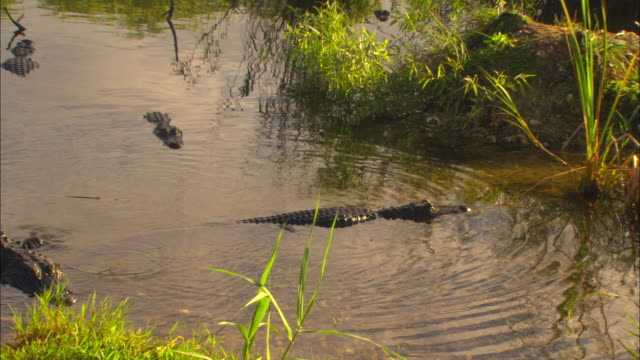 an alligator slowly crawls of out of anhinga pond. - everglades national park stock videos & royalty-free footage