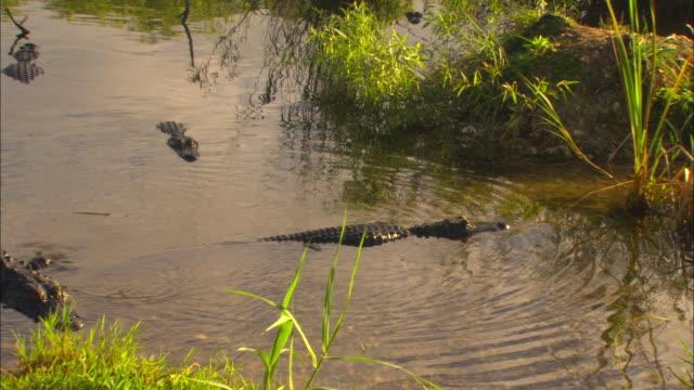 an alligator slowly crawls of out of anhinga pond. - アリゲーター点の映像素材/bロール