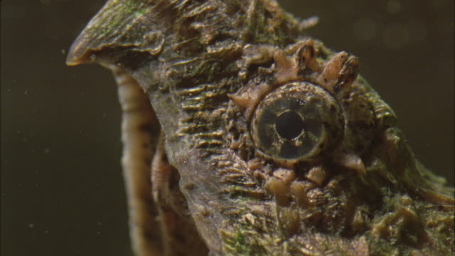 an alligator snapping turtle wiggles its tongue. - alligator stock videos & royalty-free footage