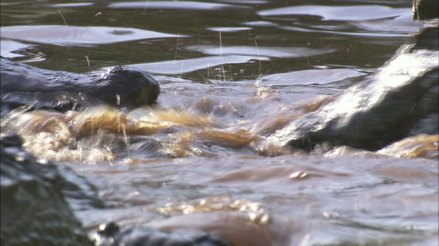 an alligator snaps its jaws underwater near another alligator swimming by. - アリゲーター点の映像素材/bロール