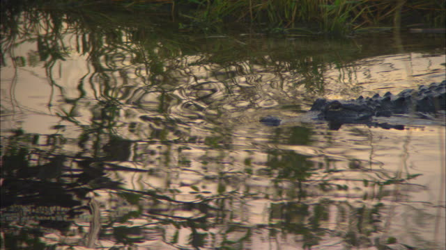 an alligator swims in anhinga pond. - everglades national park stock videos & royalty-free footage