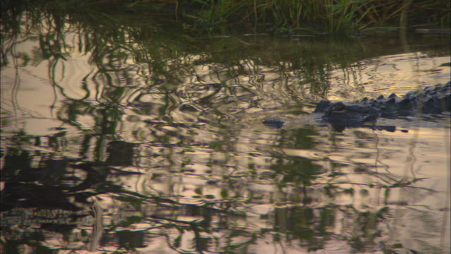 an alligator swims in anhinga pond. - alligator stock videos & royalty-free footage