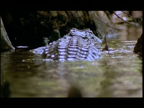 an alligator swims in the everglades then climbs out onto a log. - everglades national park stock videos & royalty-free footage