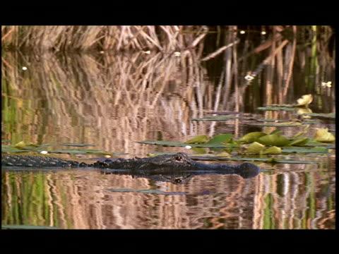 vídeos y material grabado en eventos de stock de an alligator swims in the everglades. - parque nacional everglades
