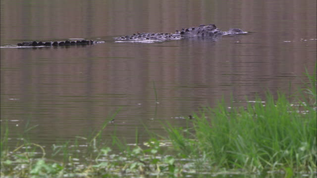 an alligator swims near seagrass in a florida swamp. - seagrass video stock e b–roll