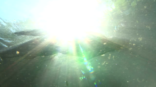 an alligator swims near the sunny surface of a spring. - alligatore video stock e b–roll