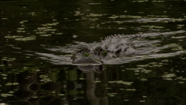 An alligator swims through a swamp in Louisiana. Available in HD.