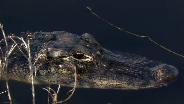 stockvideo's en b-roll-footage met an alligator wades snout deep in water. - neus van een dier