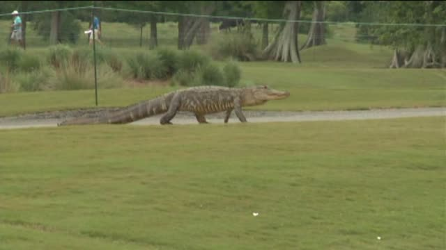 WGNO An alligator was spotted roaming the golf course TPC of Louisiana during the Zurich Classic golf tournament in New Orleans on April 22 2014