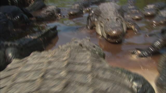 an american alligator approaches a group of other alligators. - american alligator stock videos & royalty-free footage