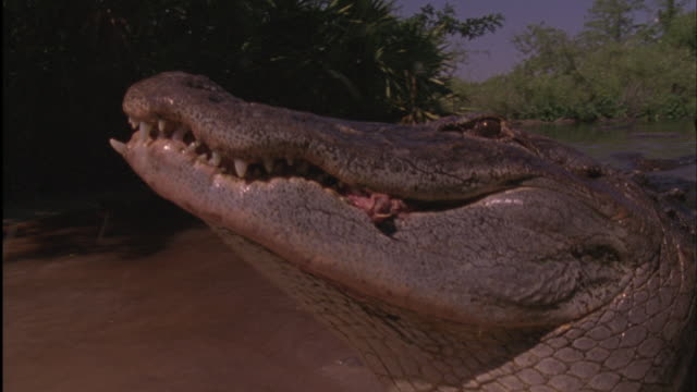 an american alligator devours meat. - american alligator stock videos & royalty-free footage