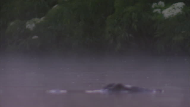 an american alligator floats in the water on a misty day. - american alligator stock videos & royalty-free footage